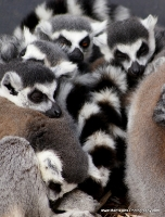 lemurs_6
