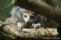 lemurs_9