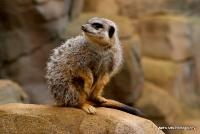 meerkats_10