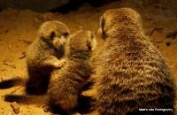 meerkats_12