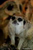 meerkats_14