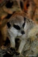 meerkats_15