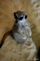 meerkats_16