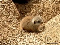 meerkats_1