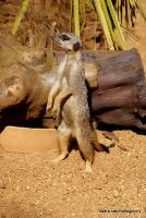 meerkats_2