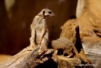 meerkats_4