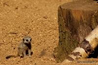 meerkats_5
