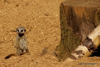meerkats_6