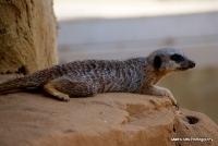 meerkats_7