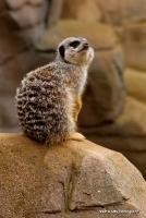 meerkats_8