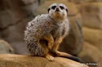 meerkats_9