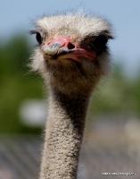 Ostriches,Emus & Rheas