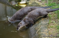 Otters_10