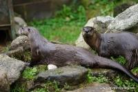 Otters_11