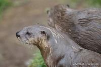 Otters_13