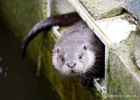 Otters_15