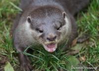 Otters_17