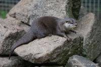 Otters_18