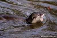 Otters_5