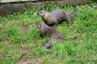 Otters_7