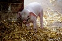 pigs_18