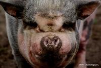 pigs_19