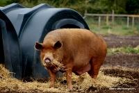 pigs_20