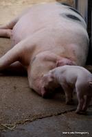 pigs_21