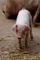 pigs_25