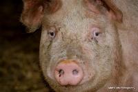 pigs_31