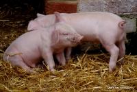 pigs_34