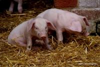pigs_37