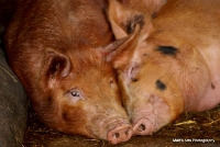 pigs_40