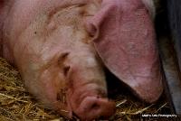 pigs_6