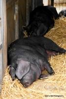 pigs_8