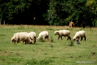 sheep_5