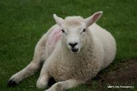sheep_7