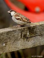 sparrows_1