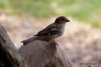 sparrows_2