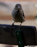 sparrows_3