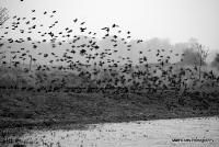 starlings_1