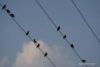 starlings_2
