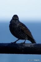 starlings_6