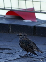 starlings_7