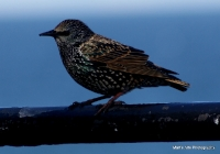 starlings_8