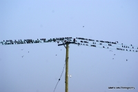 starlings_9