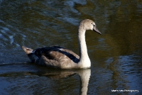 swans_11