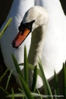 swans_12