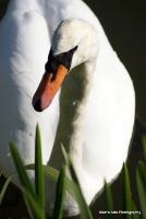 swans_13