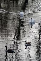 swans_15